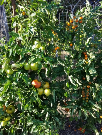 Sungold cherrries and Big Beef climbing the fence.