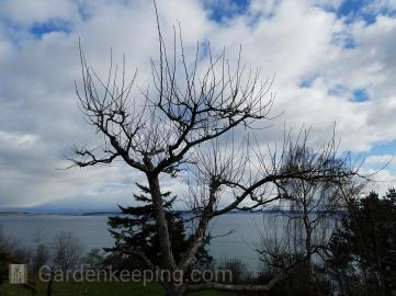 Apple tree, before.