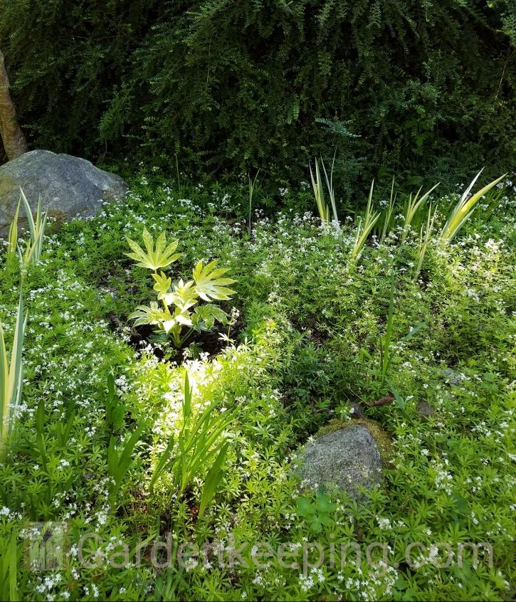 A newly planted Japanese Aralia taking the spotlight.
