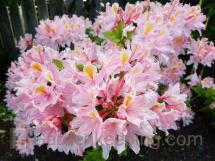Pink and Sweet Azalea