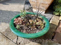 Stonecrop with black mondo grass.