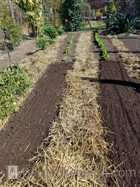 Raked out and straw put over the pathway. It's ready to plant!