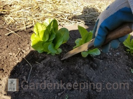 Using my Hori Hori knife to dig up clumps of lettuce.
