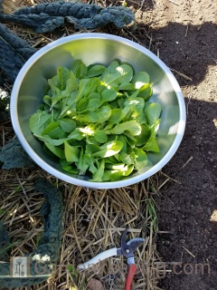 Too much to replant? Use the rest for salad.
