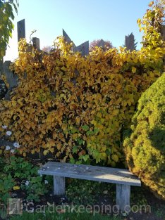 My climbing hydrangea showing its fall color.