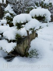 I love the way that the snow gathers on the pine. So pretty!
