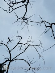 Looking up after pruning fruit trees.