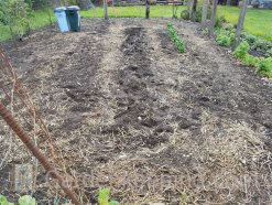 The garden cleared except for the spinach.